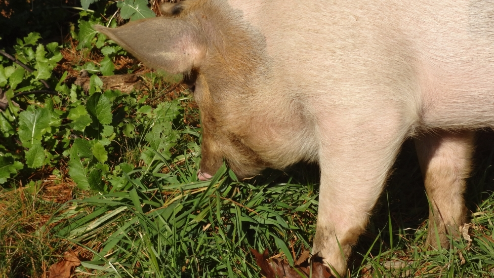 Pigs page - What do miniature pigs eat ...